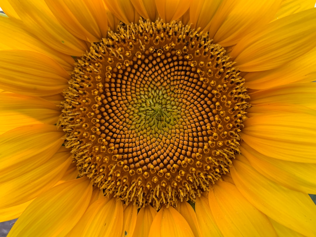 Sunflower Golden Ratio