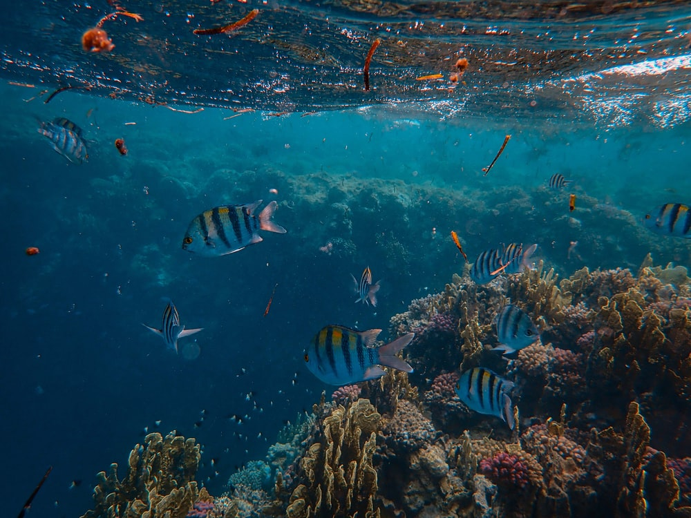 blue-and-black striped fishes