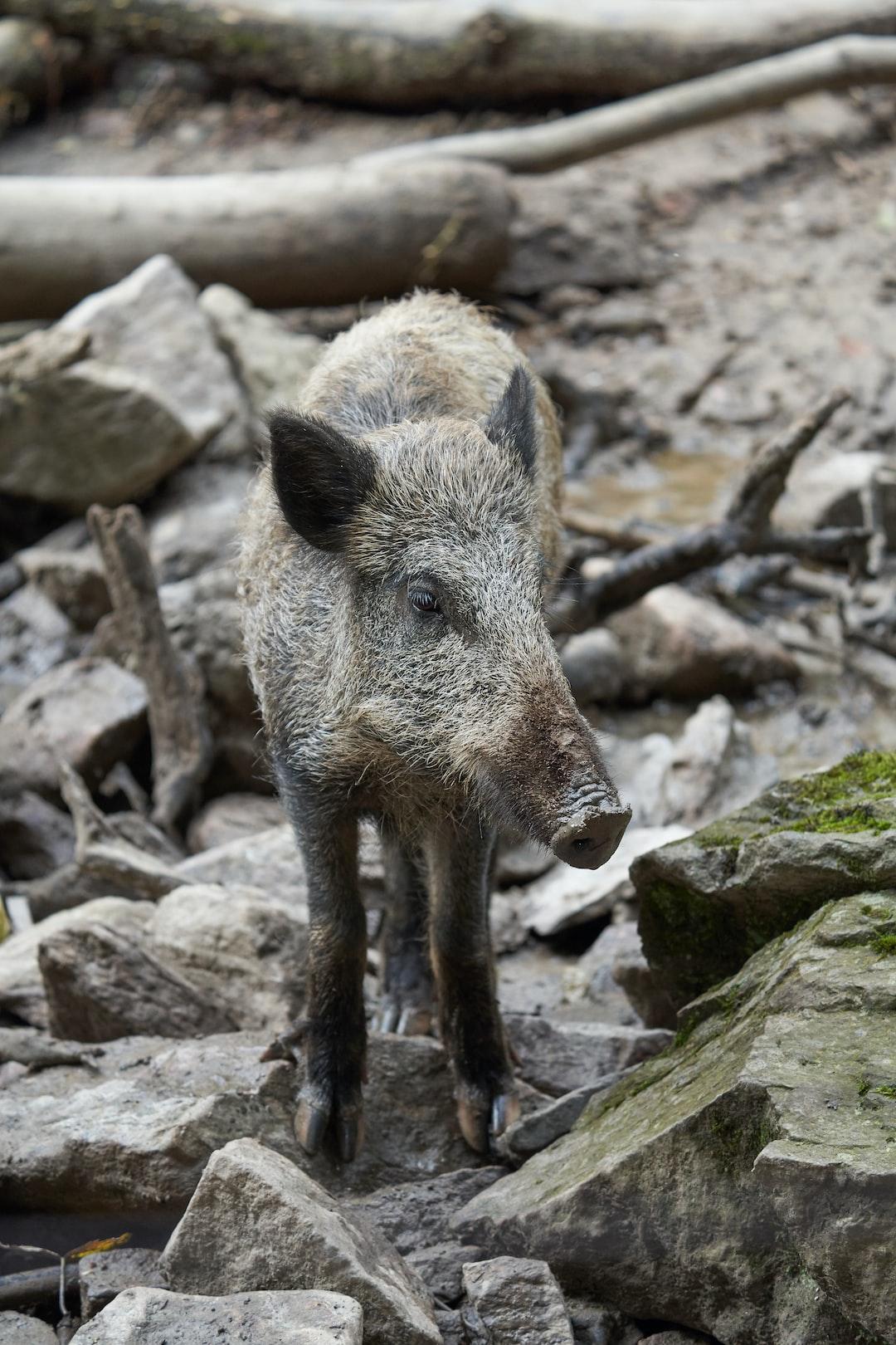 curios young wild boar