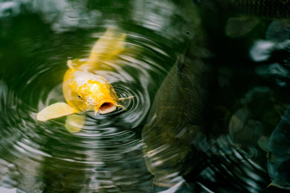 yellow koi fish