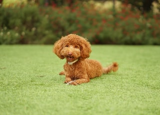 chocolate poodle sitting on grass