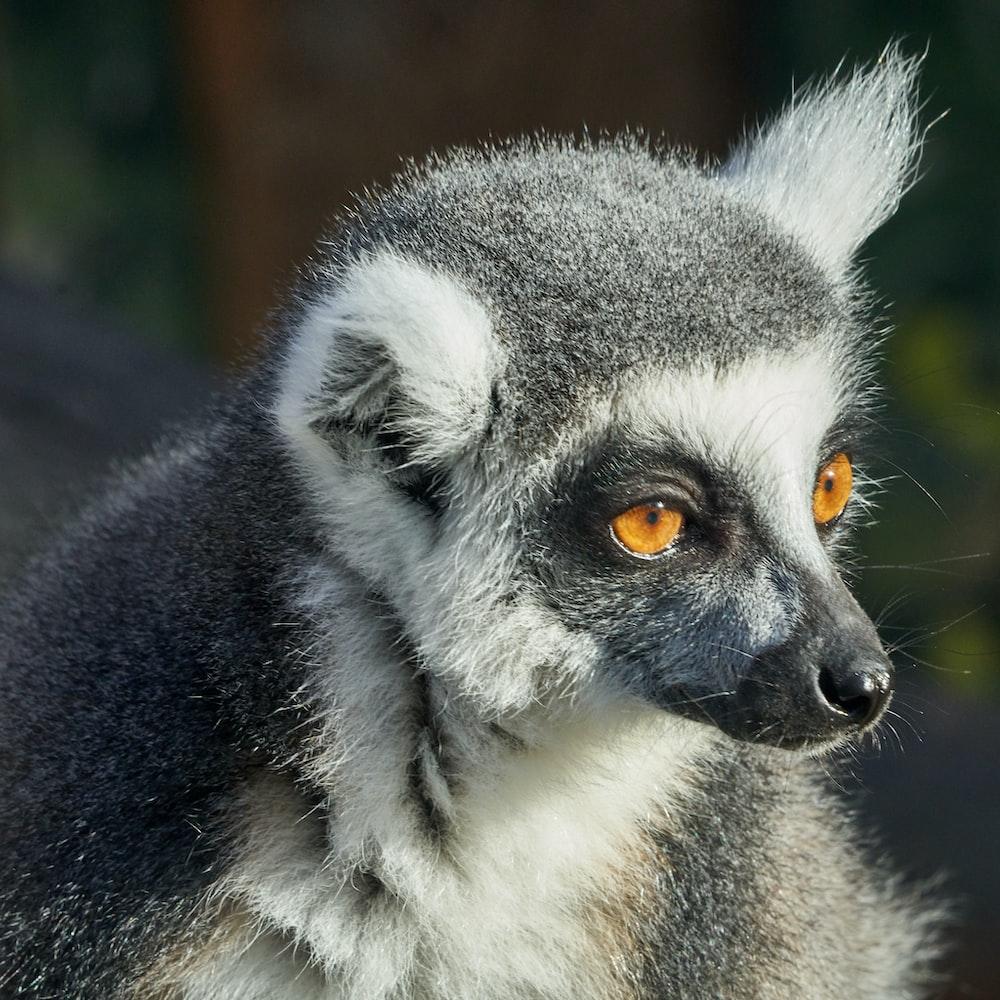 grey and white animal
