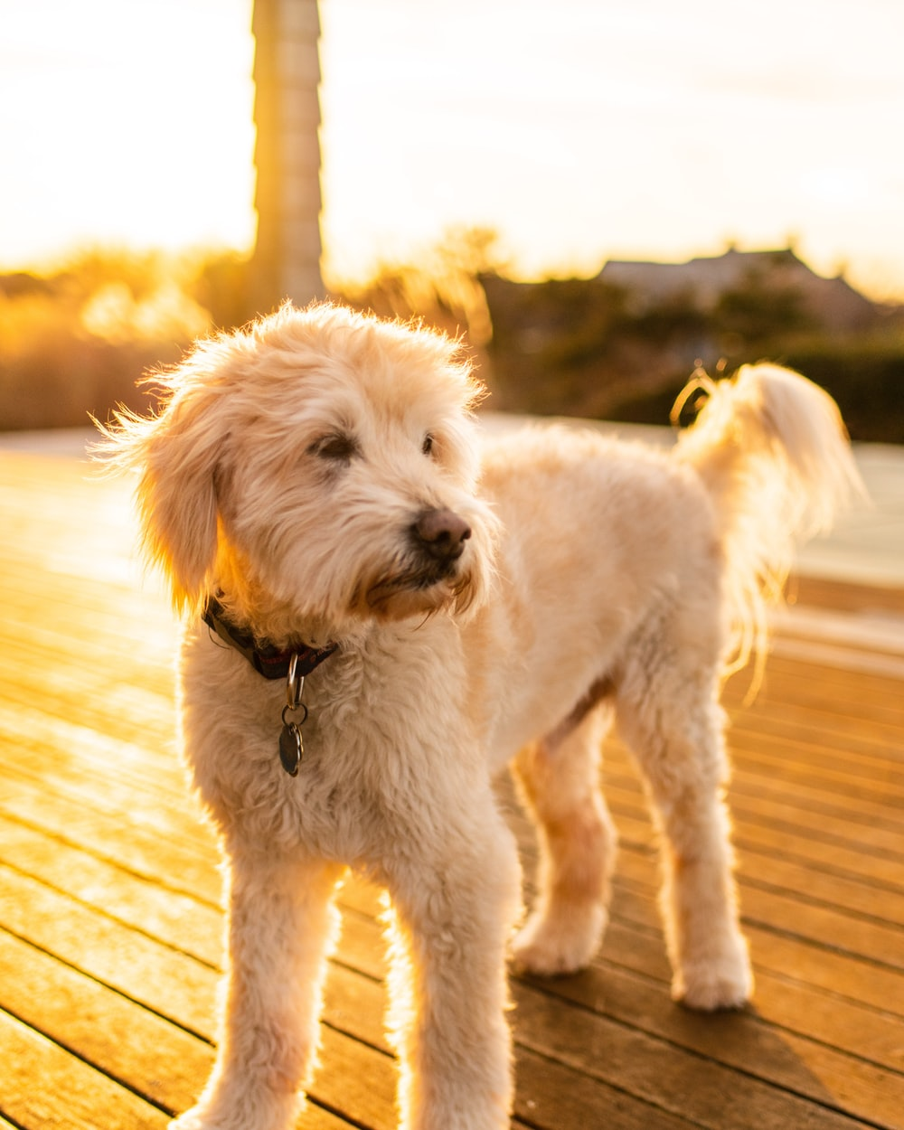 long-coated beige puppy