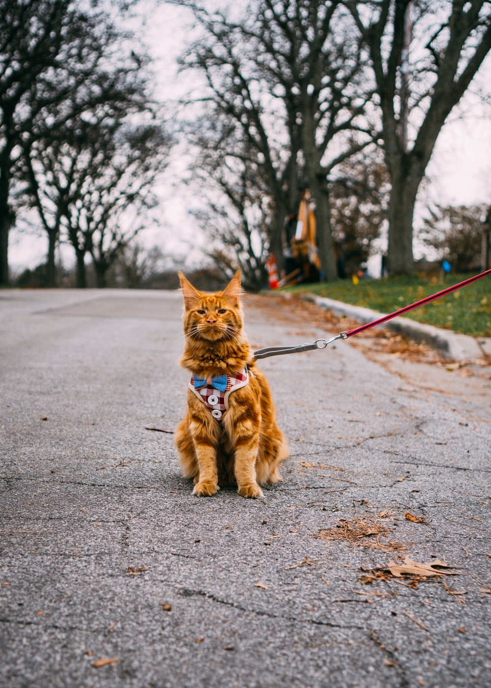 leashed cat sitting on road