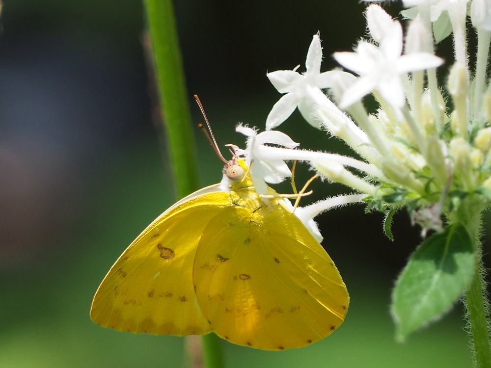 yellow moth butterfly on flower