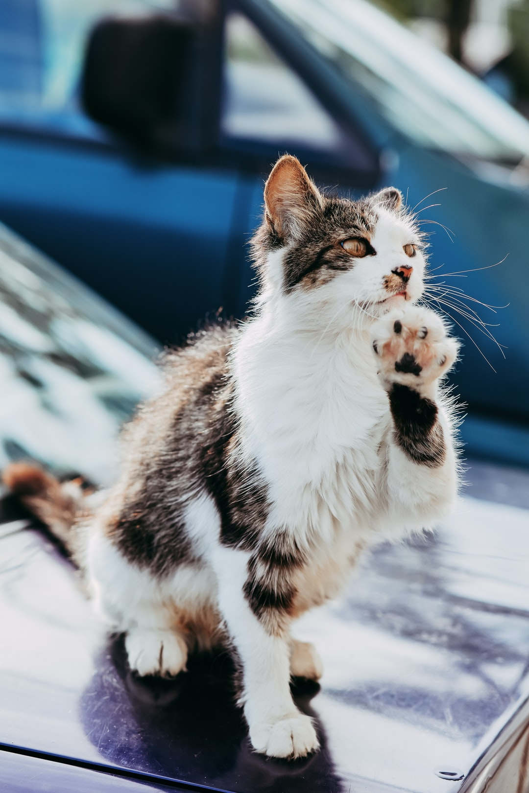Street cat on a car raises its paw up
