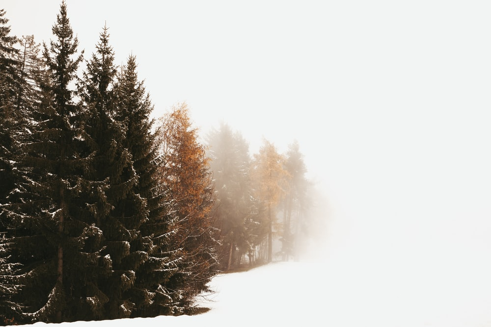 green Evergreen trees in a white snowfield