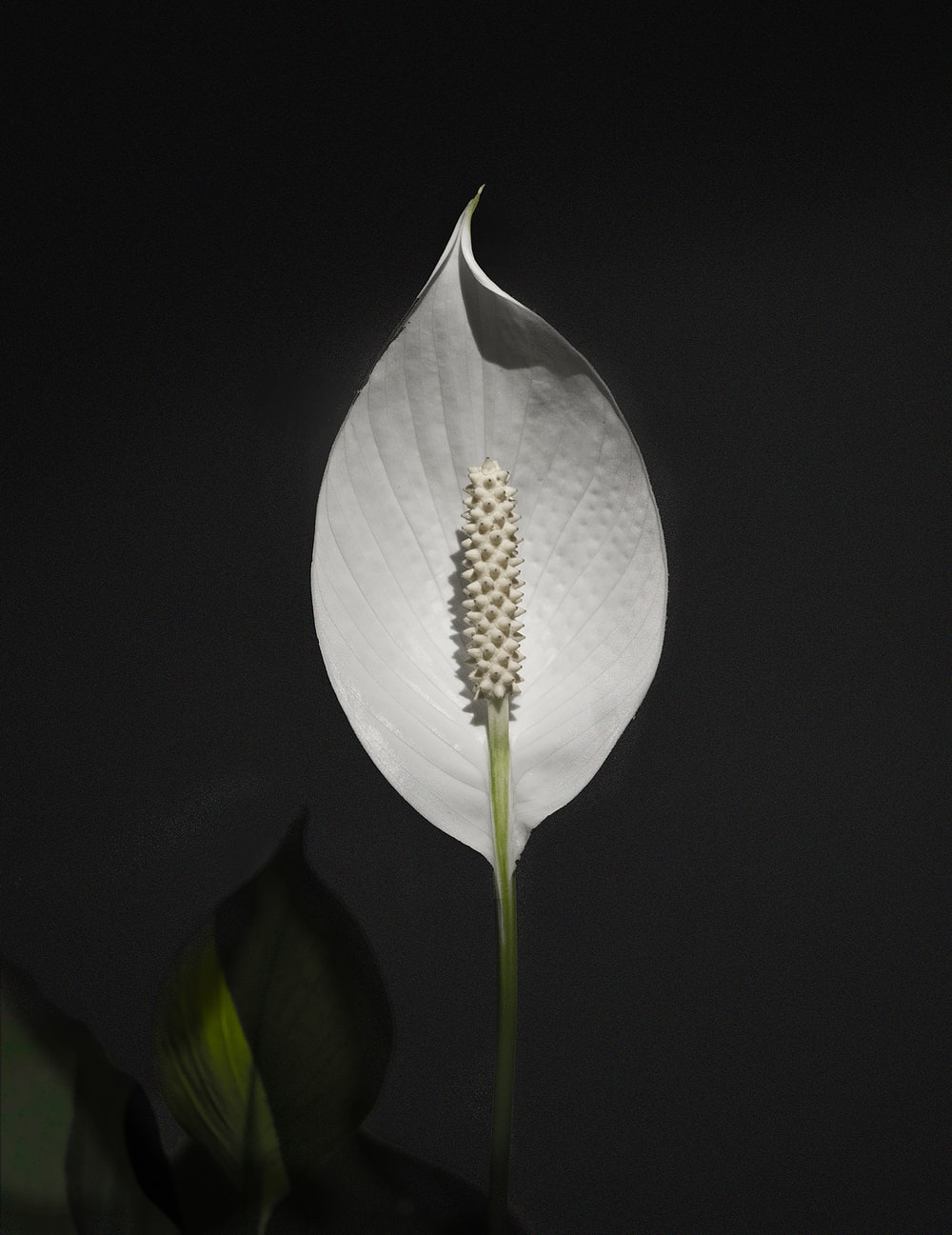 white anthurium