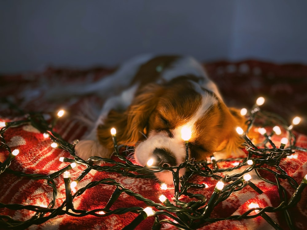 white and tan dog lying on red textile