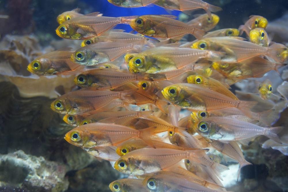 school of small orange fish