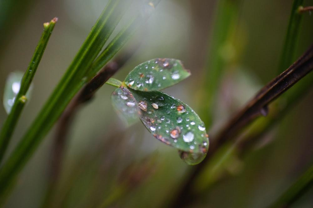 water dew on plate leaf