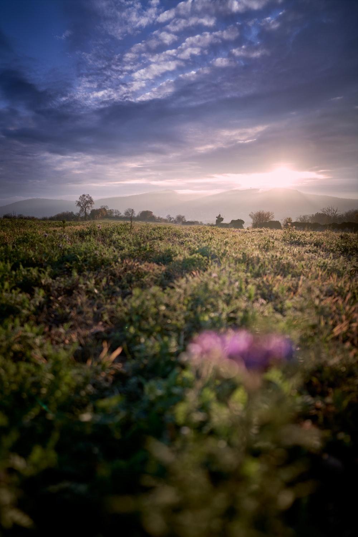 field of flower