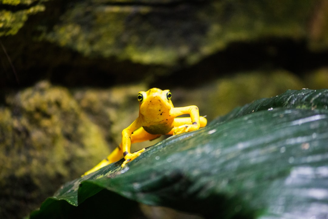 Yellow frog on a green leaf staring at the camera