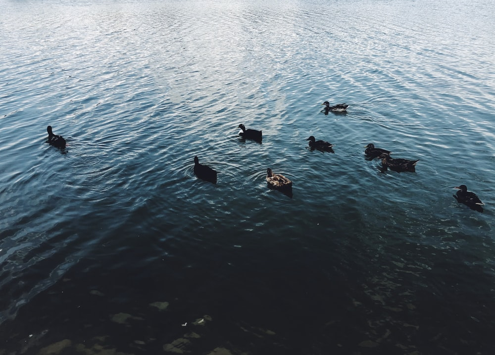 duck on the body of water photograph