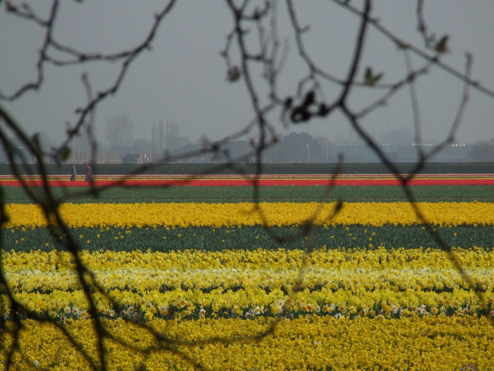 yellow flower field viewing city with high-rise buildings during daytime