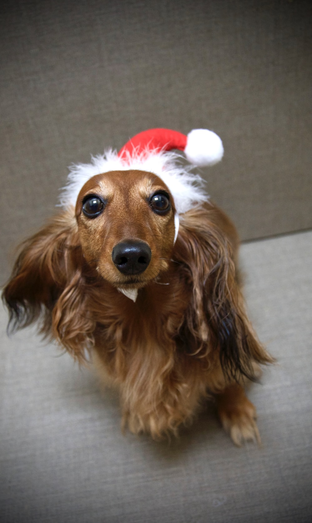 long-coated brown dog with Santa hat