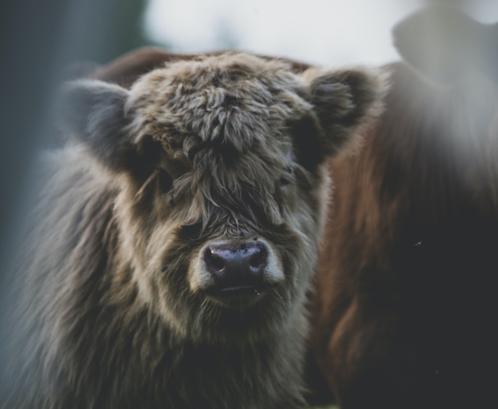 closeup photography of gray bison