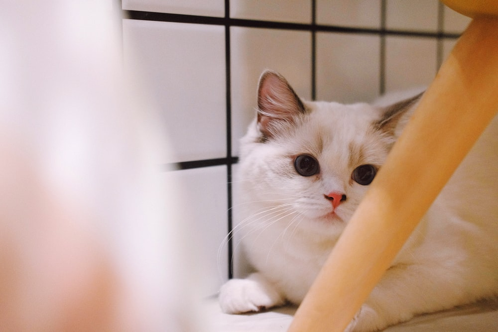 closeup photography of white cat
