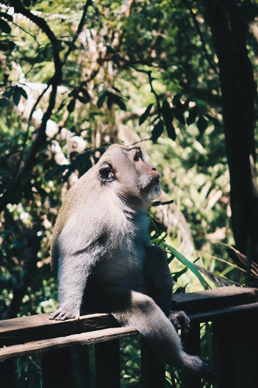 orangutan sitting on brown bench