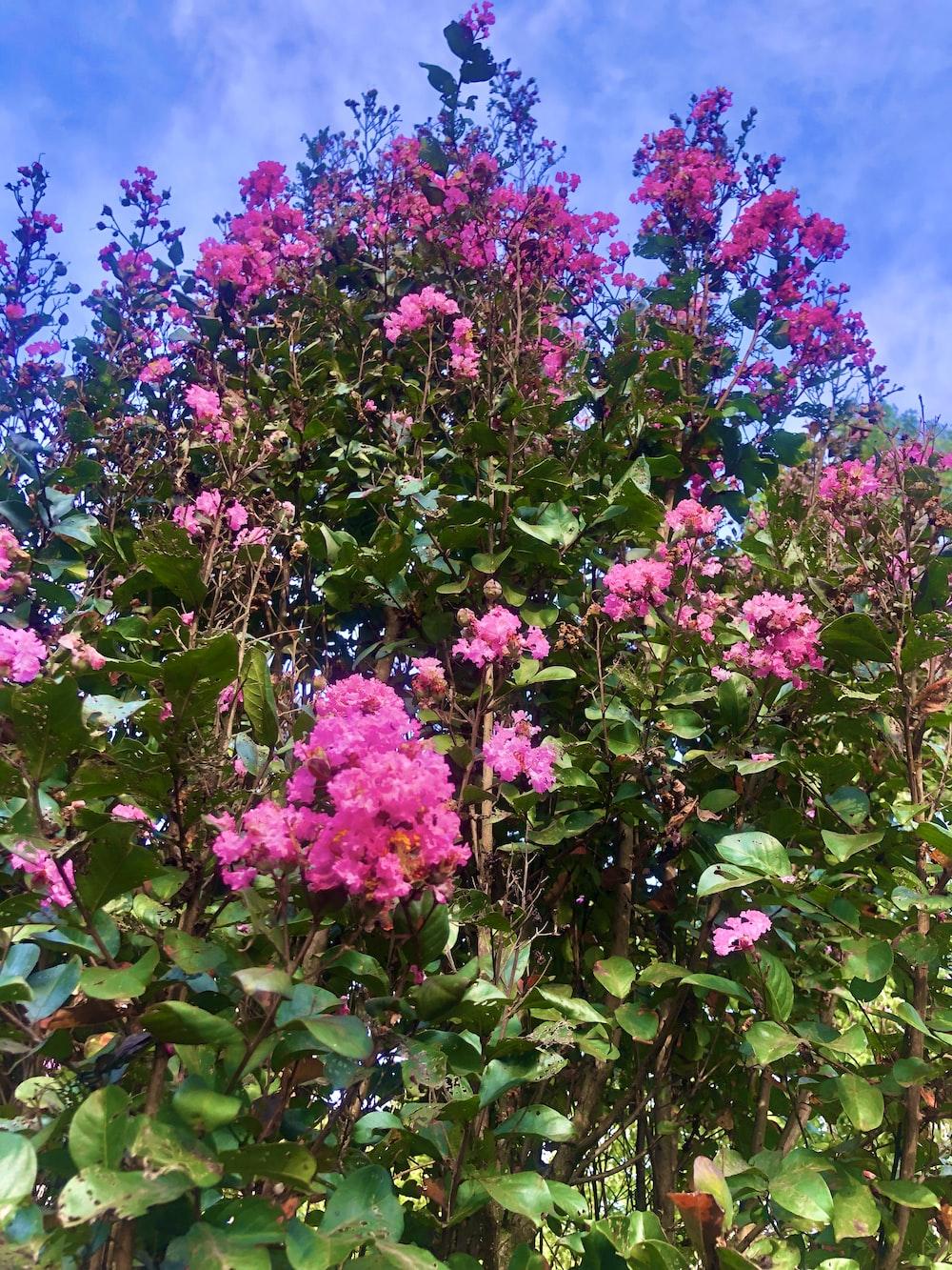pink flowers bush plant
