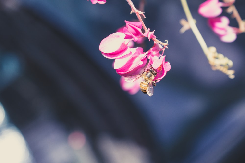 shallow focus photo of yellow bee on pink flower