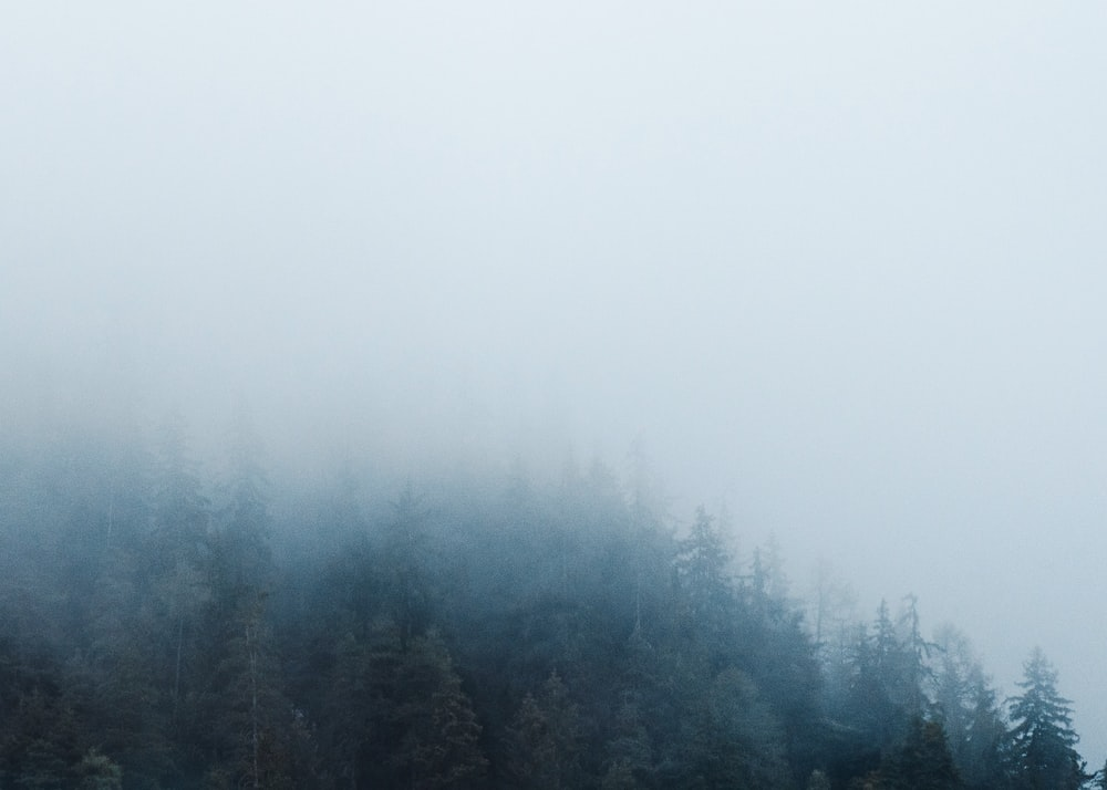 foggy pine trees scenery