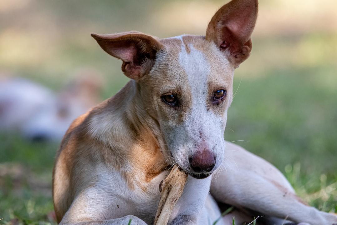 A dog chewing on bone