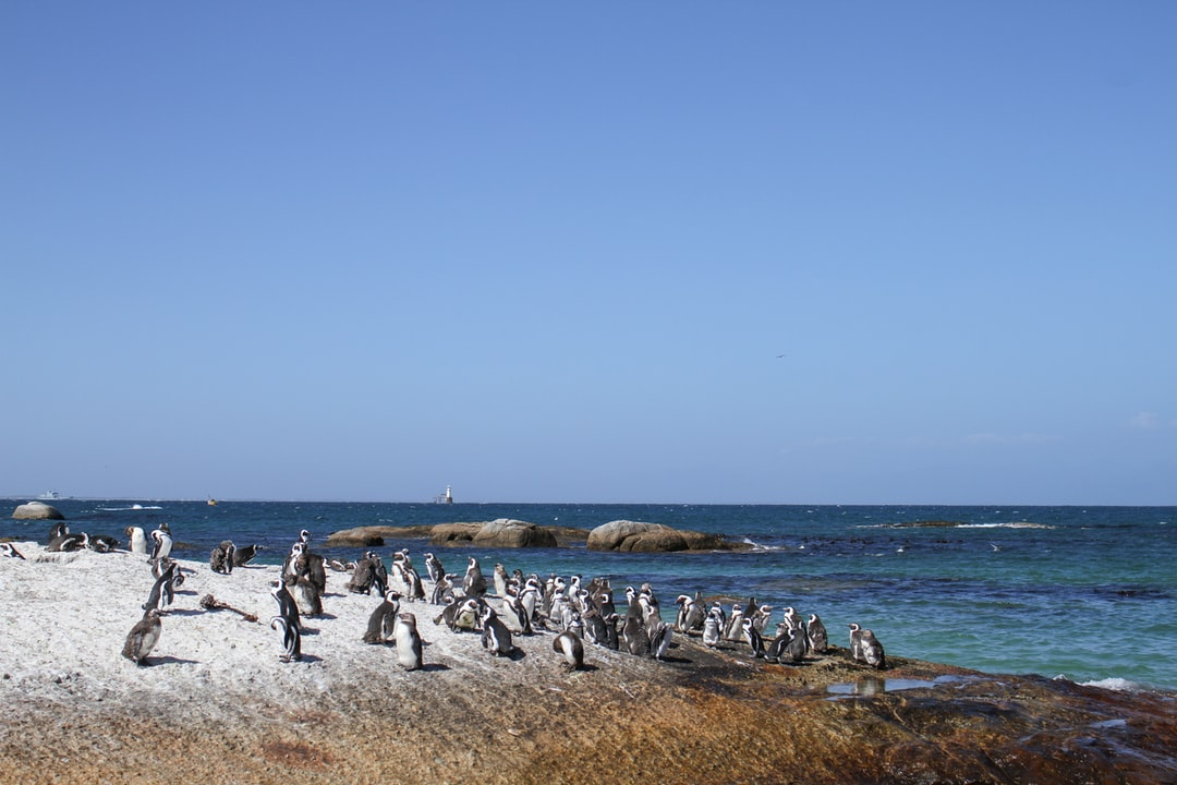 Penguins at Seaforth Beach, Cape Town, South Africa.