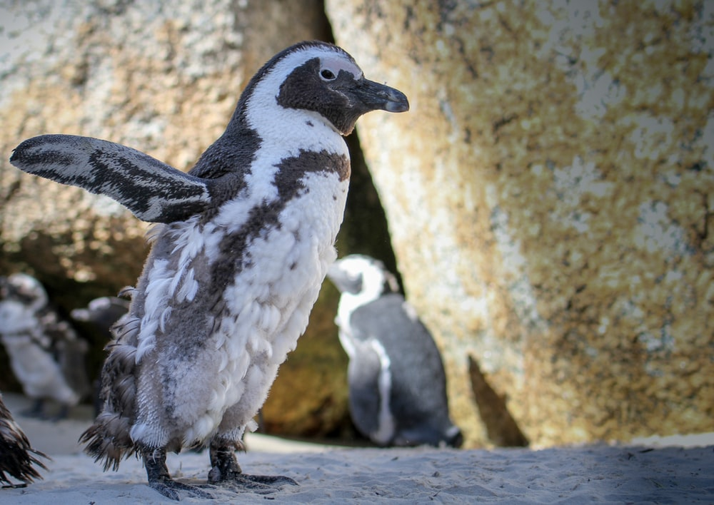 white and grey penguin