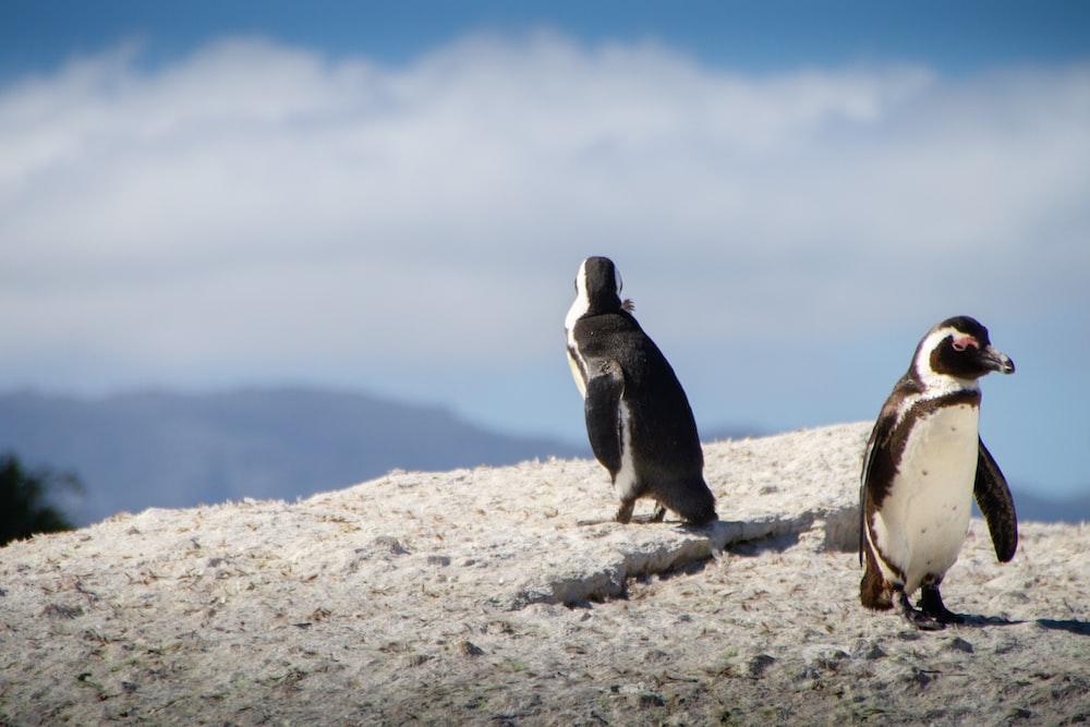 black-and-white penguins