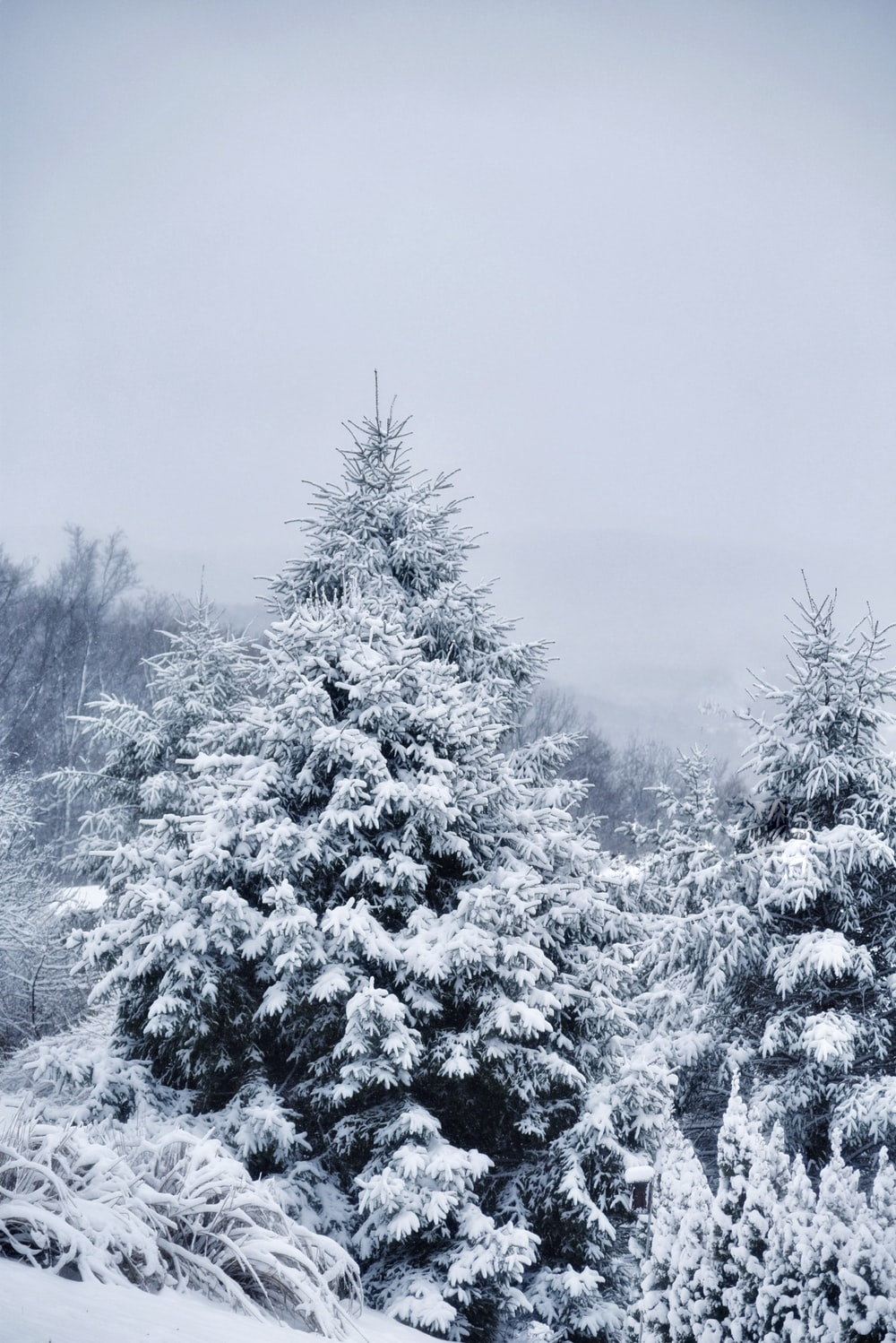 Pine tree icy covered scenery