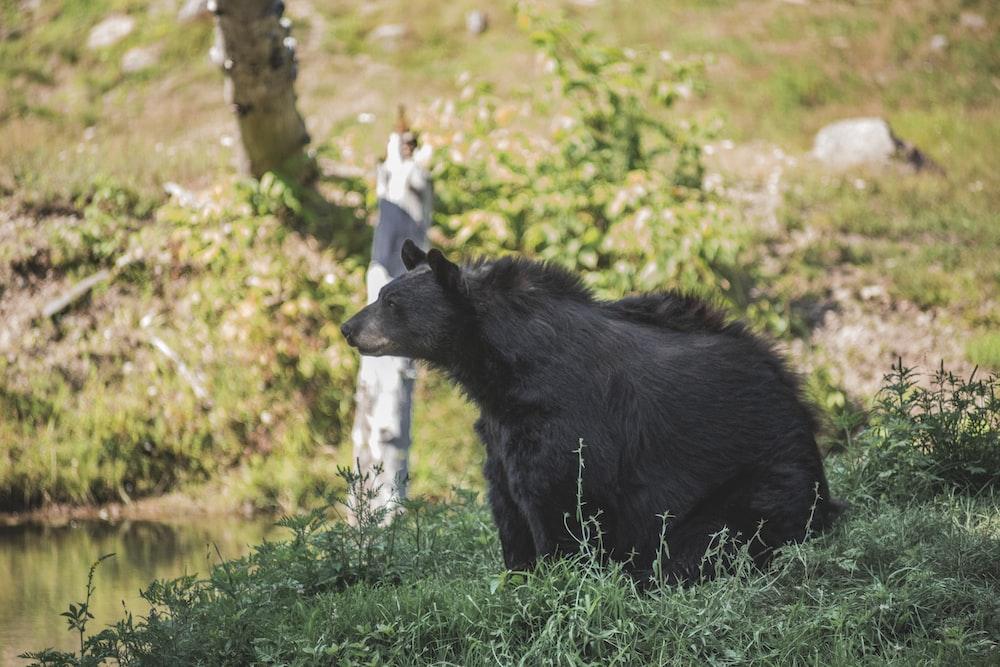 black Polar bear walking on grass field