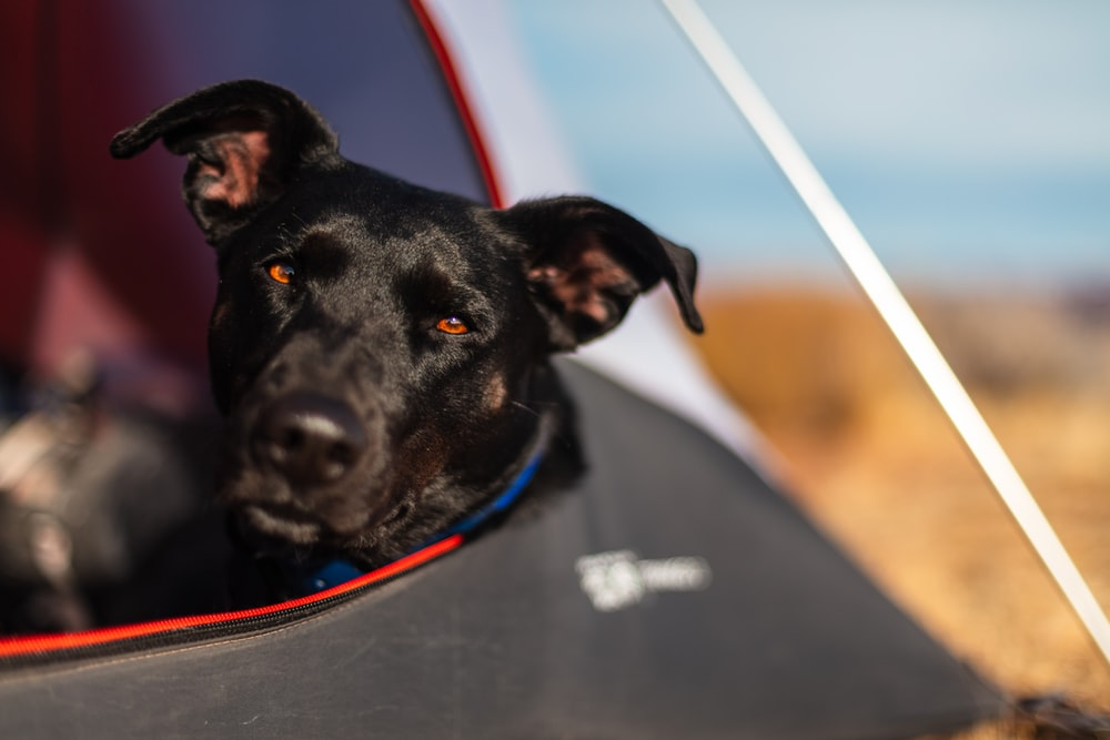 black dog in dome tent