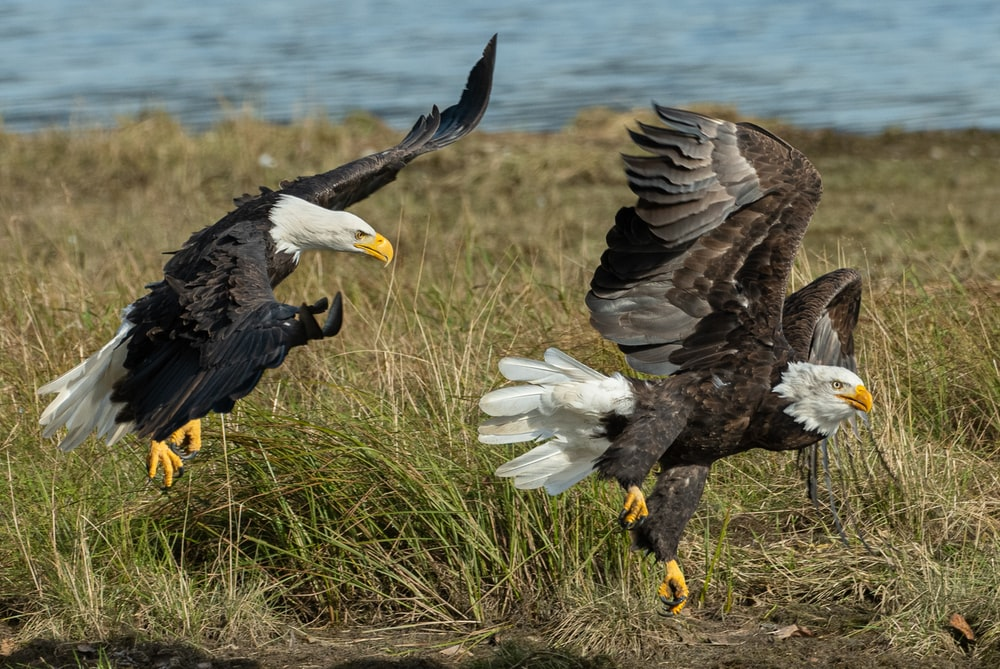 two brown and gray American bald eagles on grass field