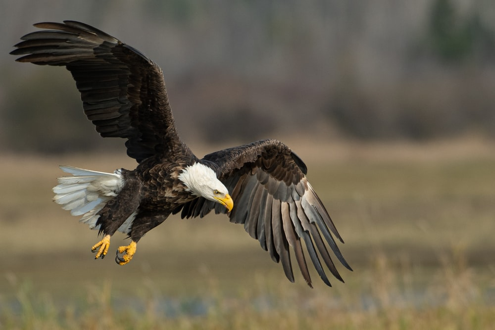 bald eagle above brown frield