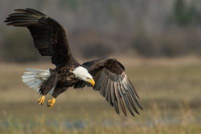 bald eagle above brown frield eagle teams background