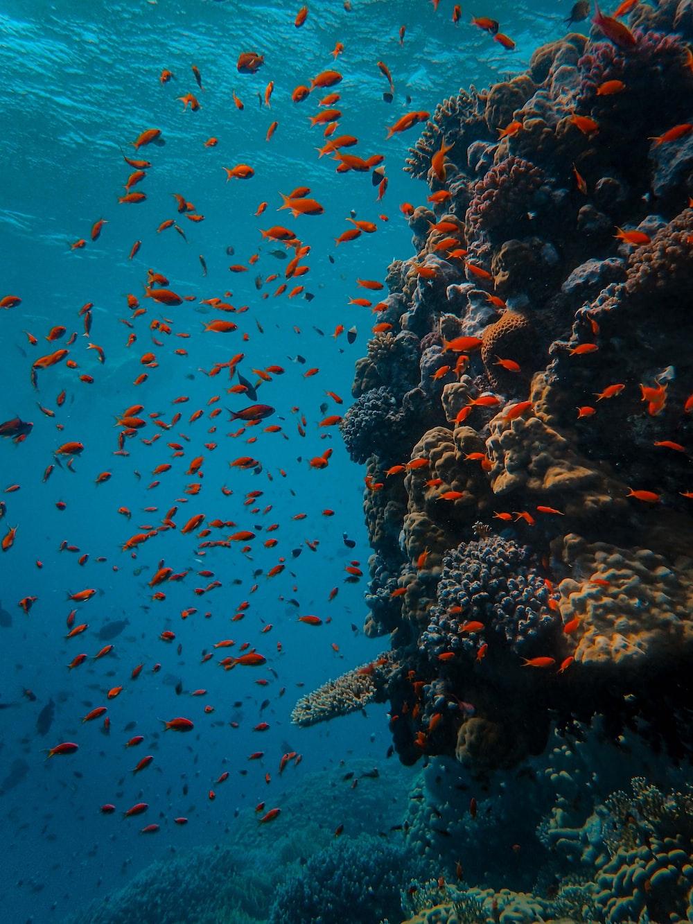 school of orange fish
