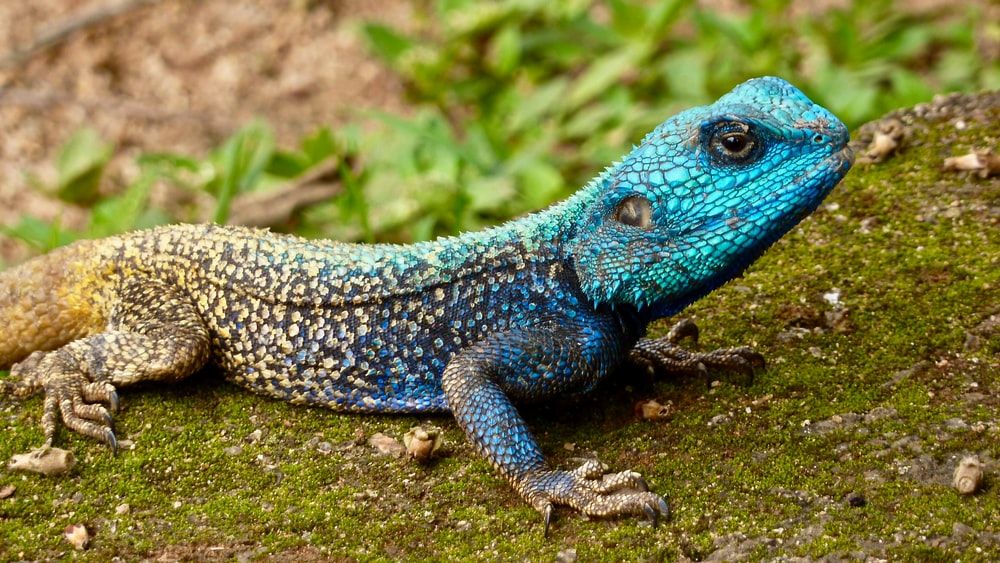 blue and grey lizard during daytime