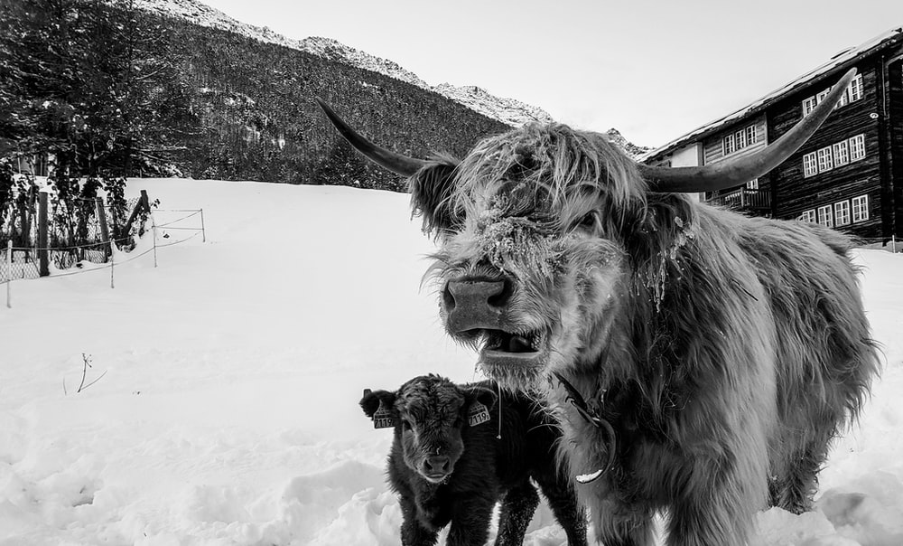 grayscale photo of bull