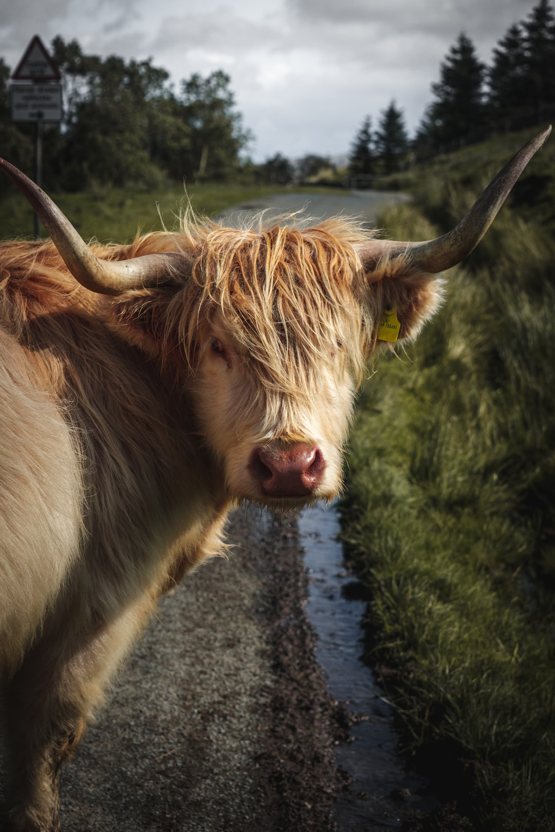 Highland Cow, in Yorkshire Dales.