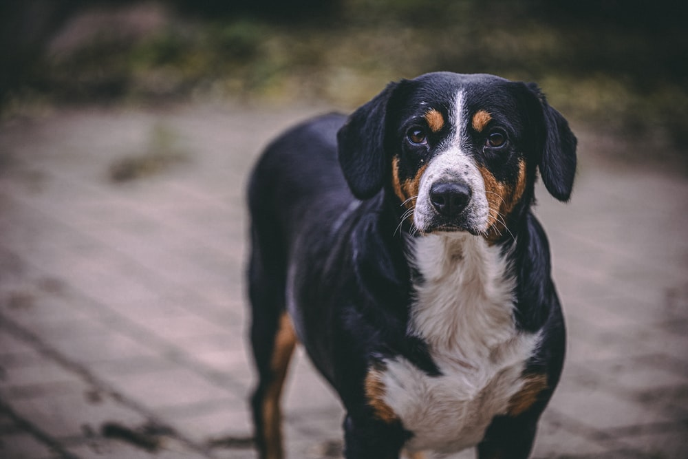 selective focus photography of adult short-coated black, tan, and white dog during daytime