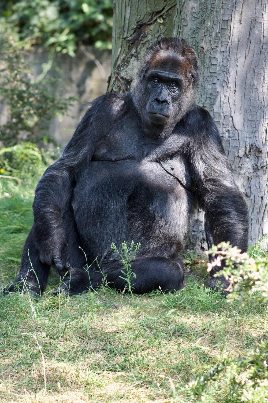 gorilla leaning on tree