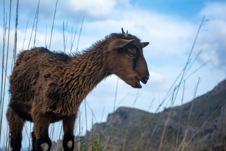 Happy goat strolling on the cliffs