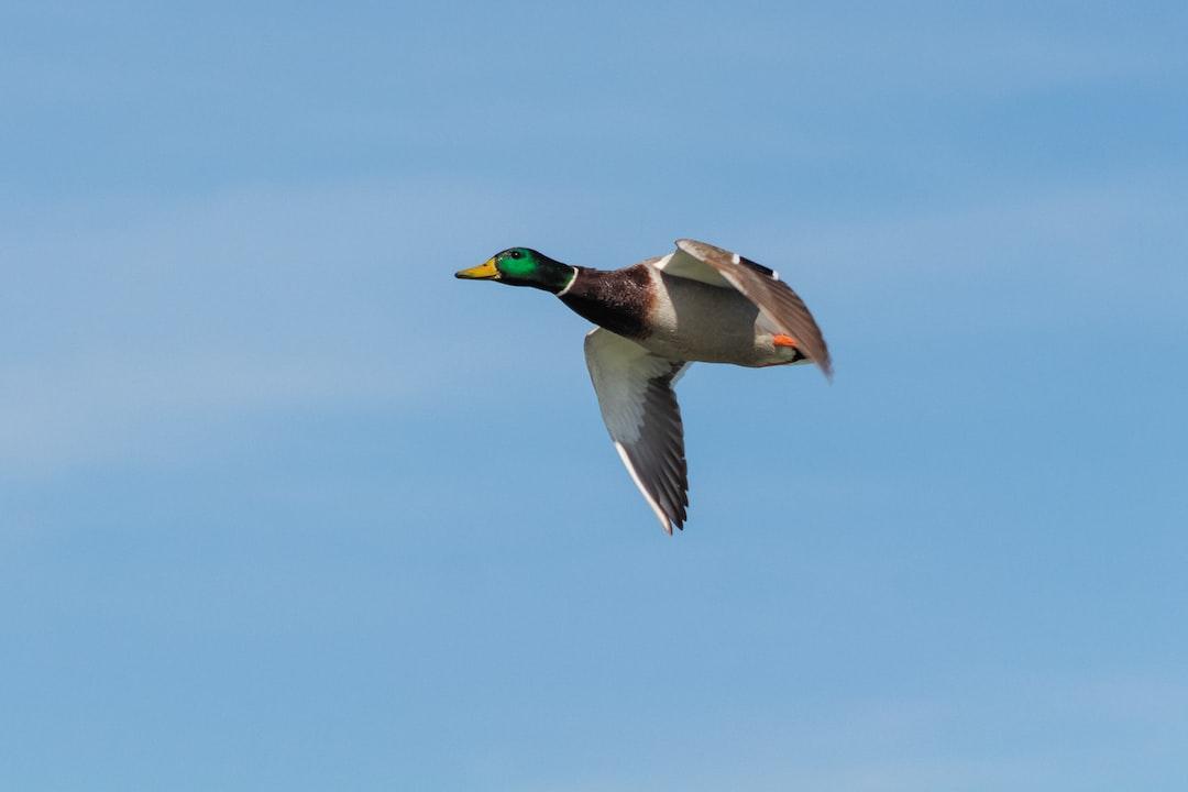 Mallard duck at high speed.