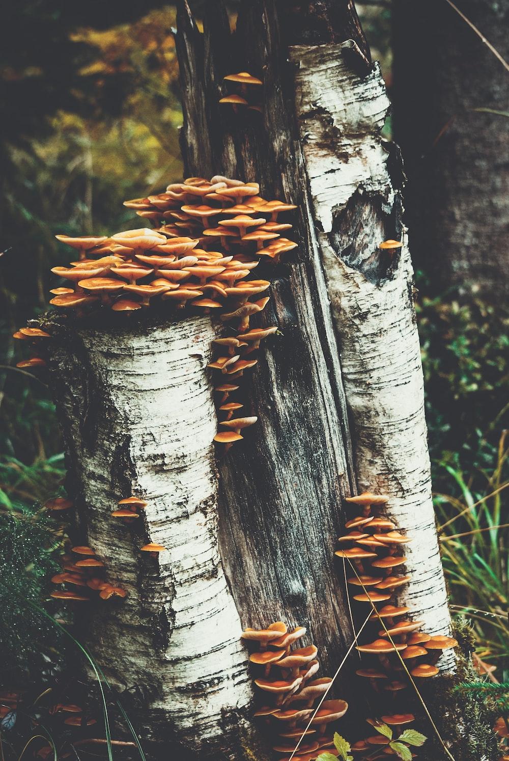 mushrooms on tree bark