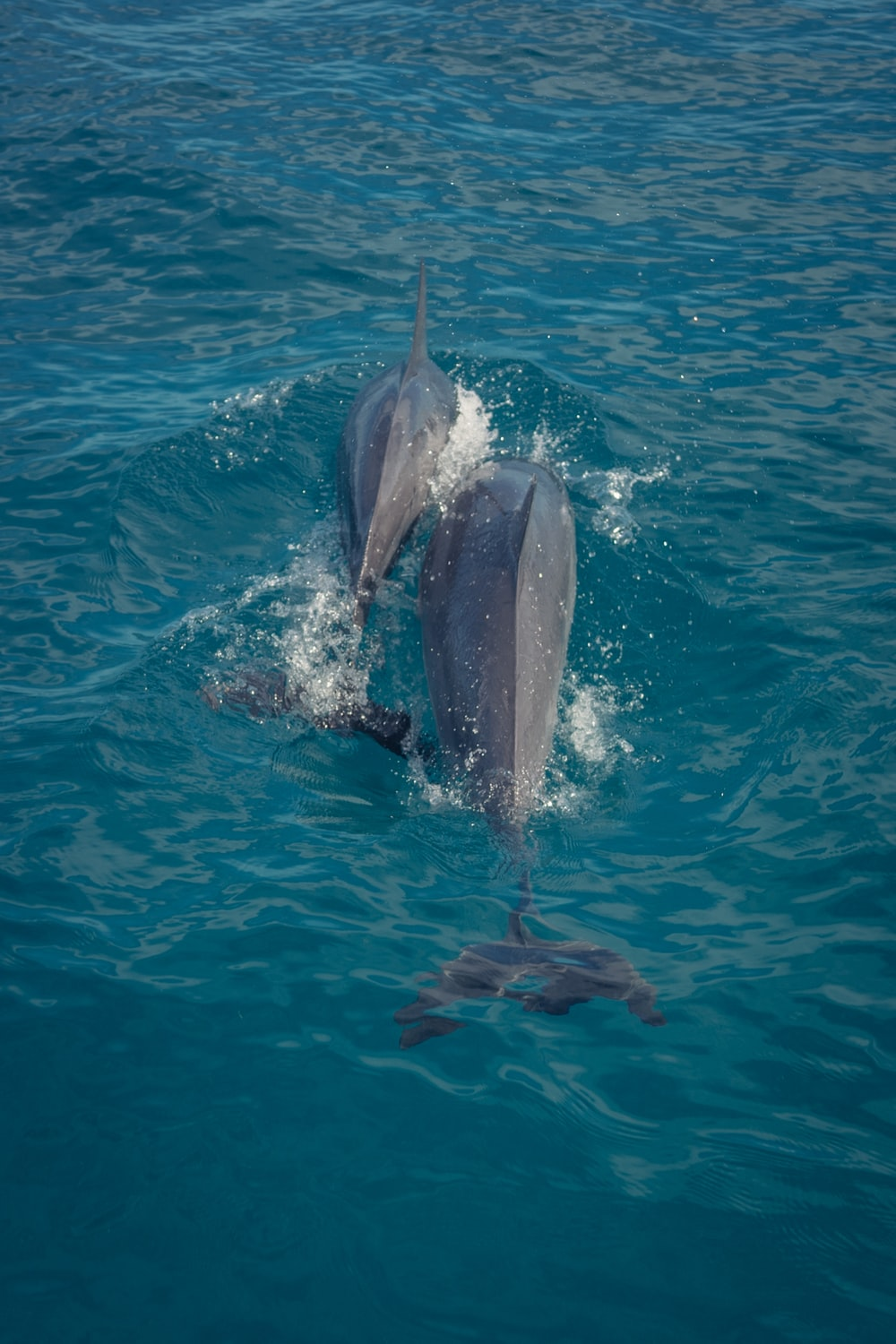 two gray dolphins swimming in water