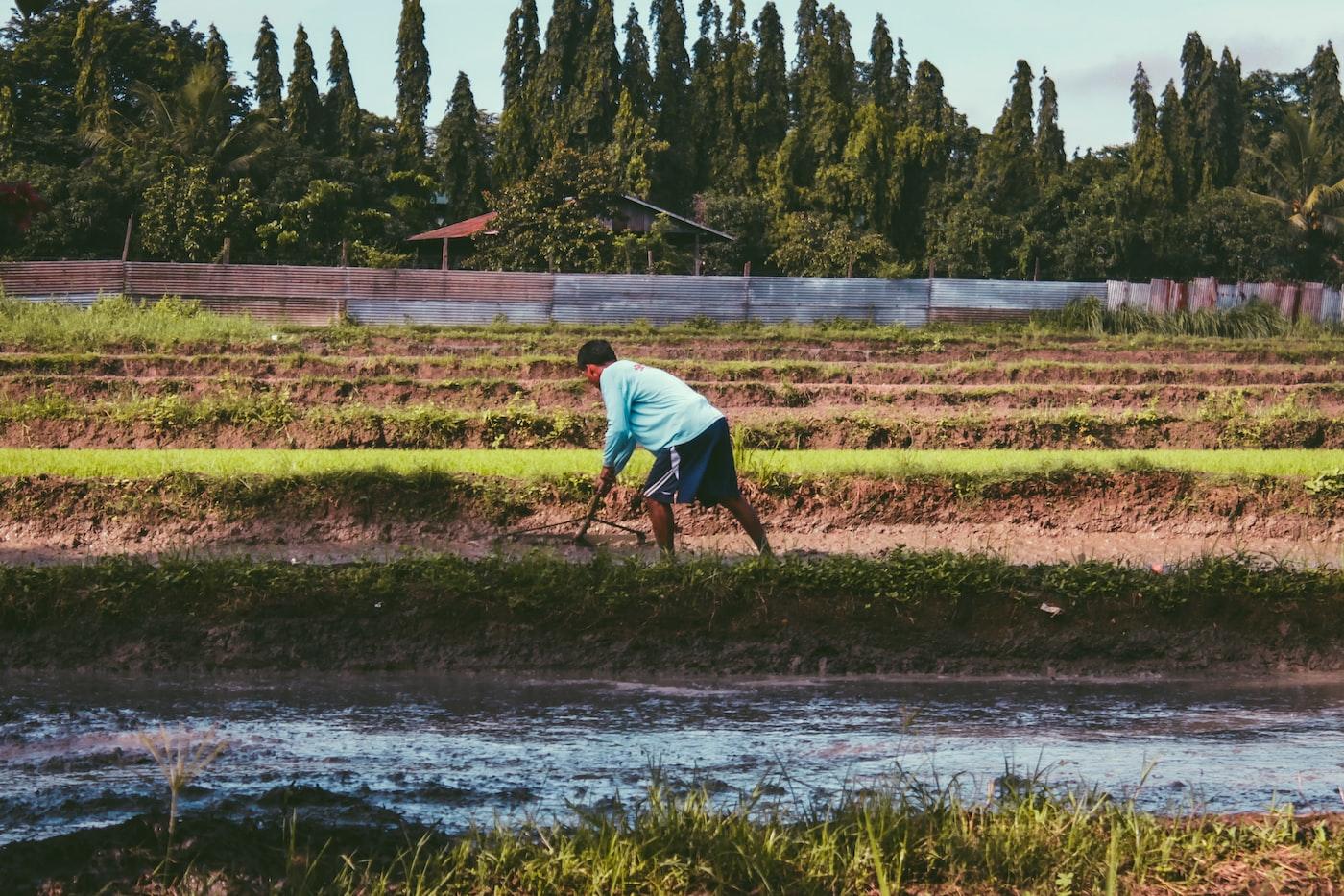 man farming on rice plant field