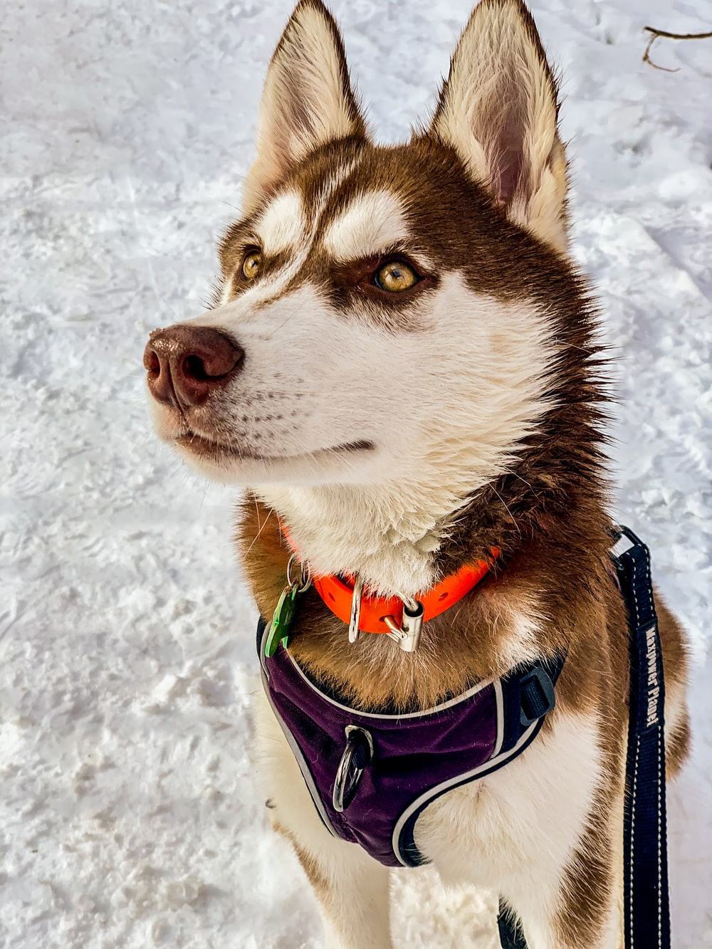 adult brown and white Siberian husky on snow