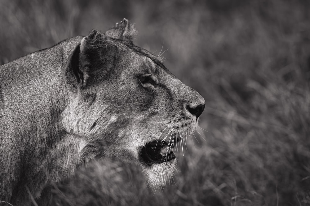 grayscale photography of lioness with open mouth