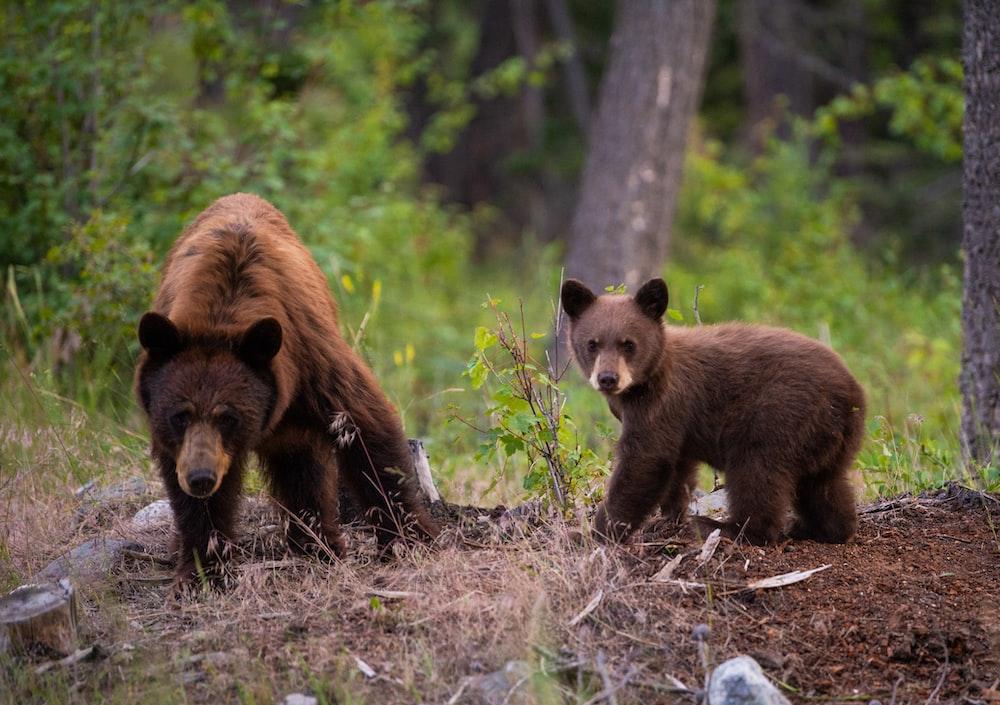 two sun bears on field